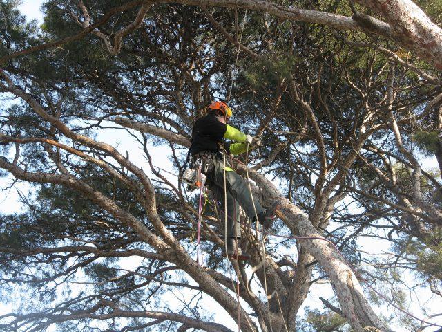 Elagage de grands arbres !